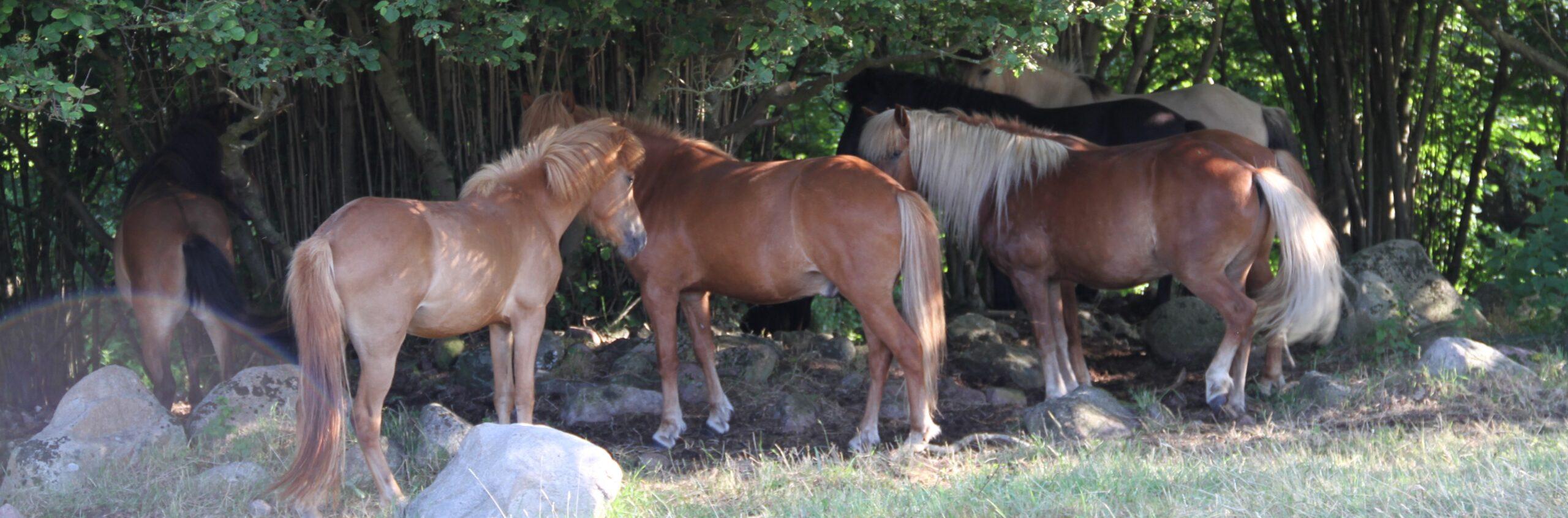 Heste der benyttes tillidsøvelser, sidebevægelser, longering, håndhesteridning og horsemanship